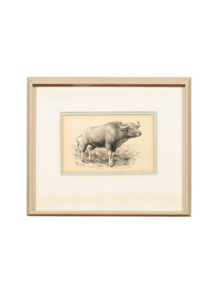 Ink Drawing of Water Buffalo